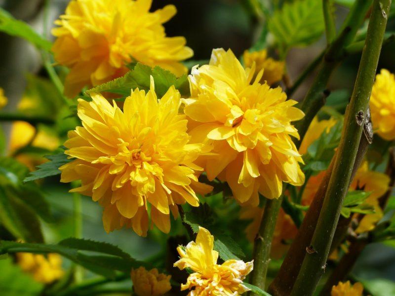 ヤマブキの花言葉