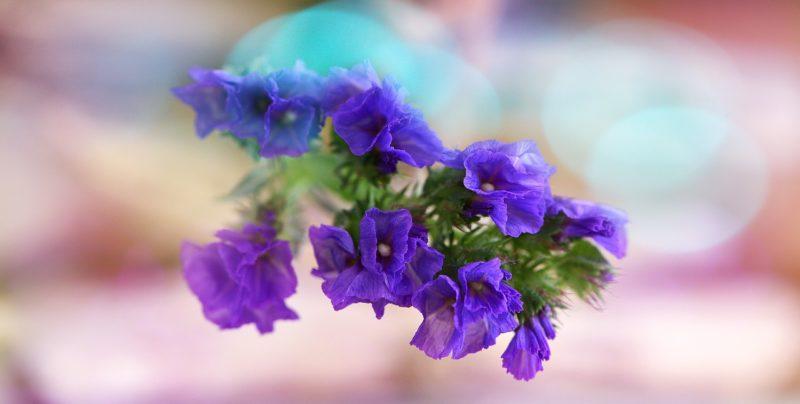 紫色スターチスの花言葉