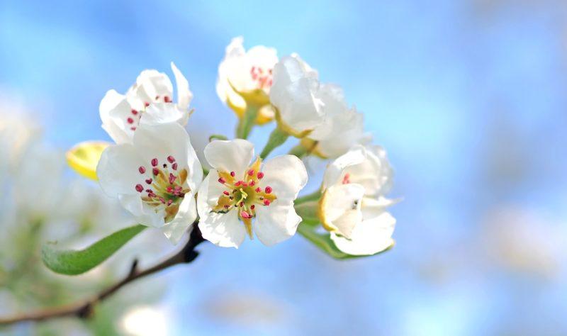 リンゴの花言葉