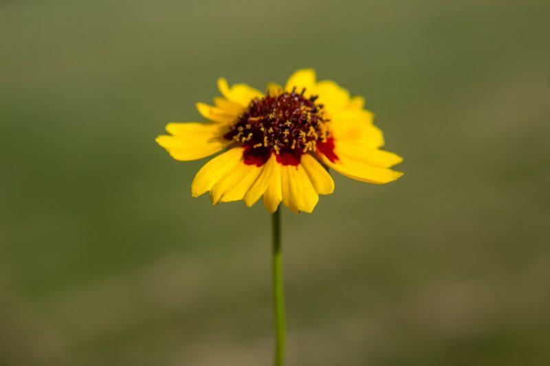 ハルシャギクの花言葉