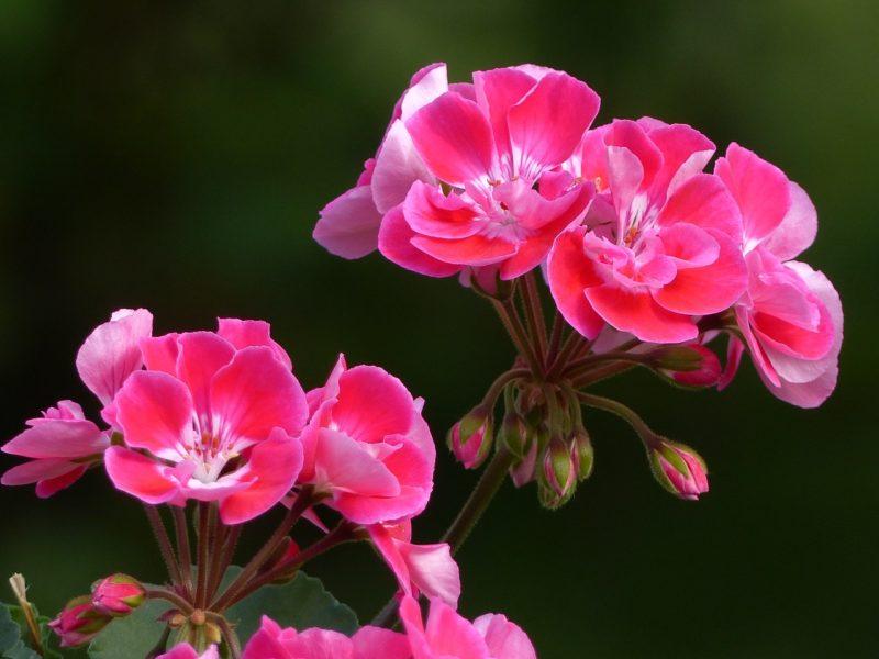 ゼラニウムの花言葉