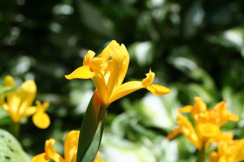 キショウブの花言葉