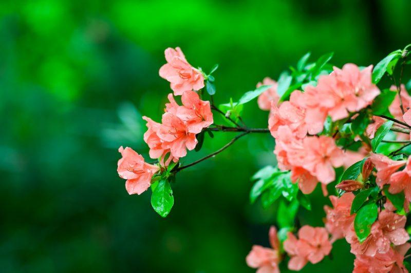 ヤマツツジの花言葉