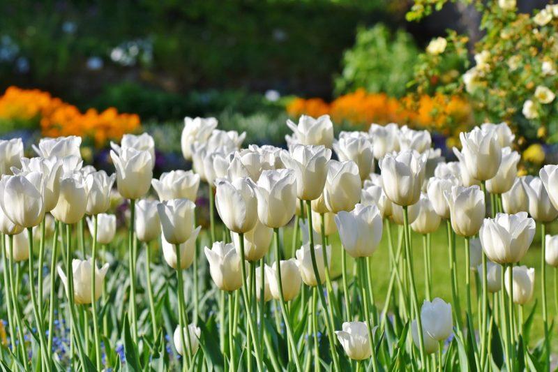 白いチューリップの花言葉