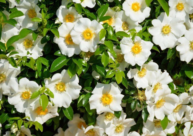 クチナシの花言葉