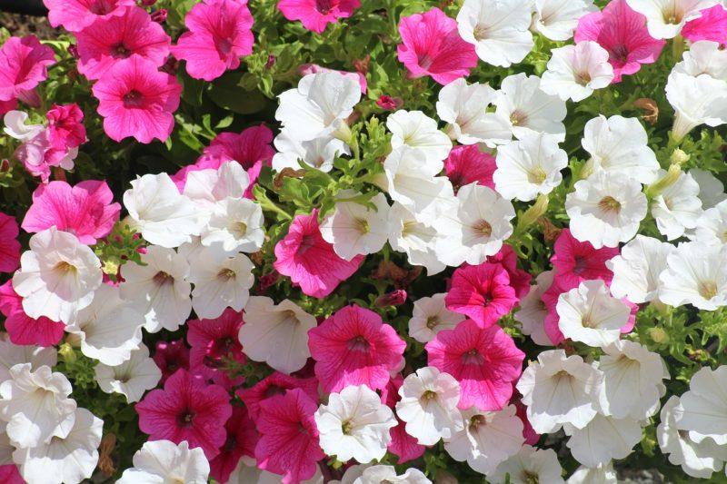ペチュニアの花言葉