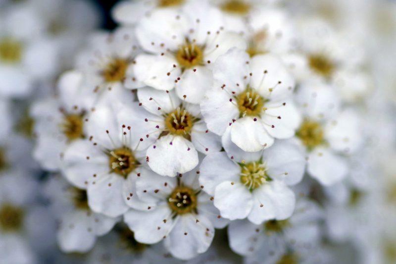 サンザシの花言葉