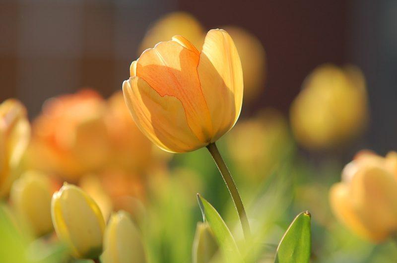 黄色いチューリップの花言葉