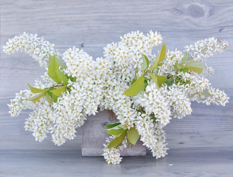 白いライラックの花言葉