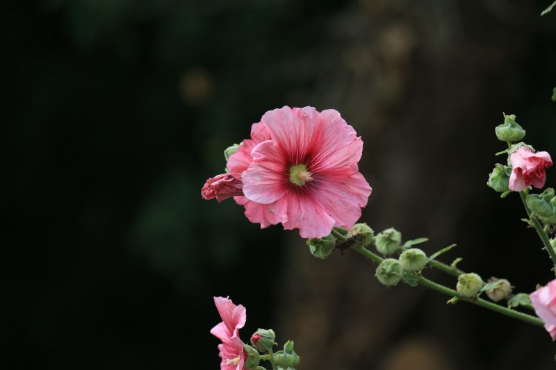 タチアオイの花言葉