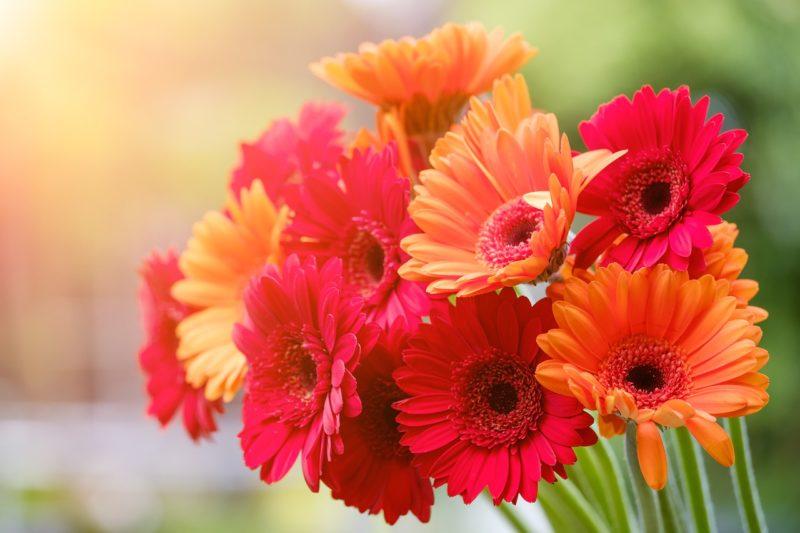 ガーベラの花言葉