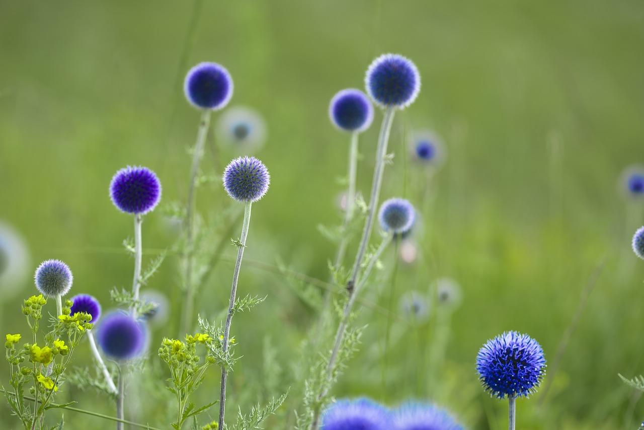 ルリタマアザミの花言葉