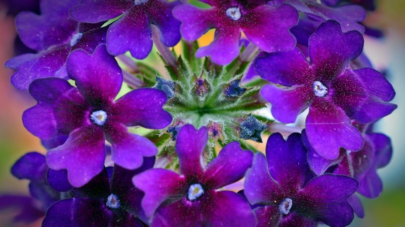 バーベナの花言葉