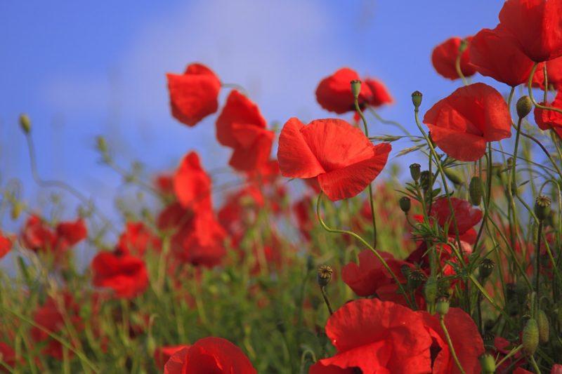 赤いポピーの花言葉