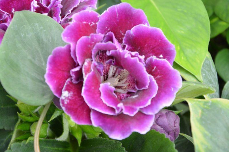 グロキシニアの花言葉