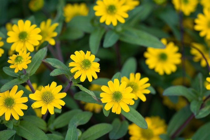サンビタリアの花言葉