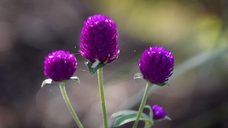 センニチコウの花言葉