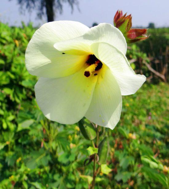 トロロアオイの花言葉