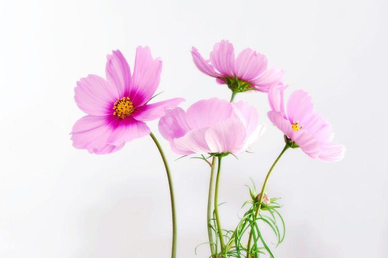 コスモスの花言葉
