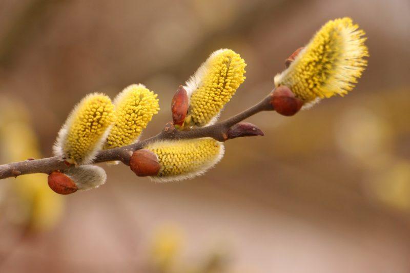 ネコヤナギの花言葉