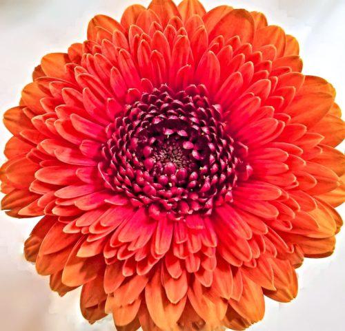 赤色の菊の花言葉