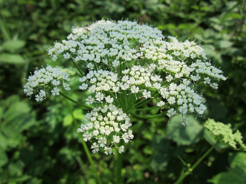 ホワイトレースフラワーの花言葉